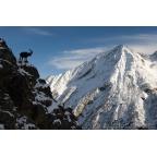 W-I-14 Alpine ibex