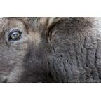 W-I-10 Alpine ibex