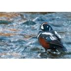 I-W-18 Harlequin duck