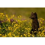 I-W-04 Arctic fox