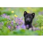 I-W-05 Arctic fox