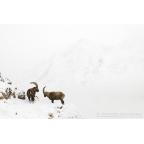 W-I-13 Alpine ibex