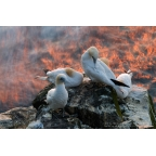 W-I-17 Northern gannets