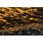 W-I-19 Northern gannets