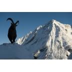 W-I-15 Alpine ibex