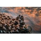 W-I-18 Northern gannets
