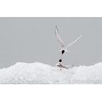 I-W-09 Arctic tern
