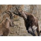 W-I-11 Alpine ibex