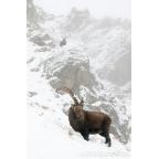 W-I-09 Alpine ibex